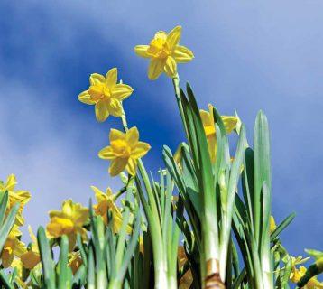 daffodils-2093307_1920
