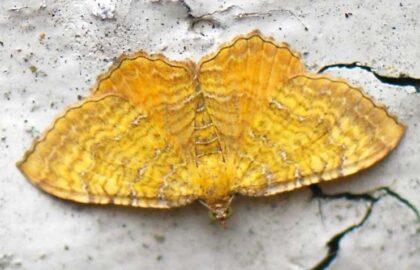 29_1742_Yellow-Shell