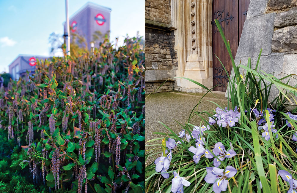 Winter-Irises-4
