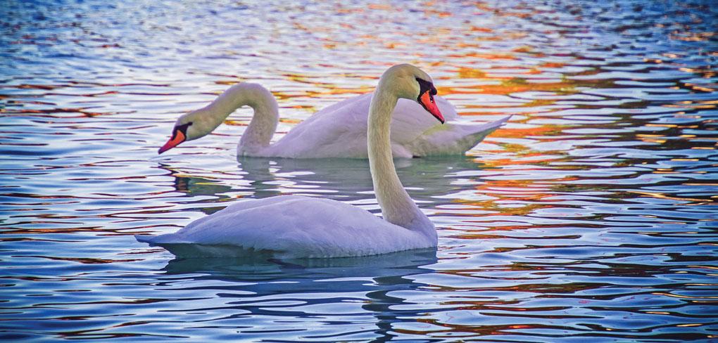 swan-4541060_1920