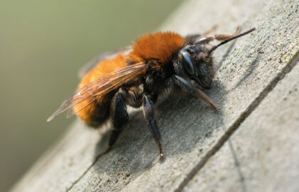 tawny-mining-bee-3-TRIAL-dreamstime_xxl_89735499-copy