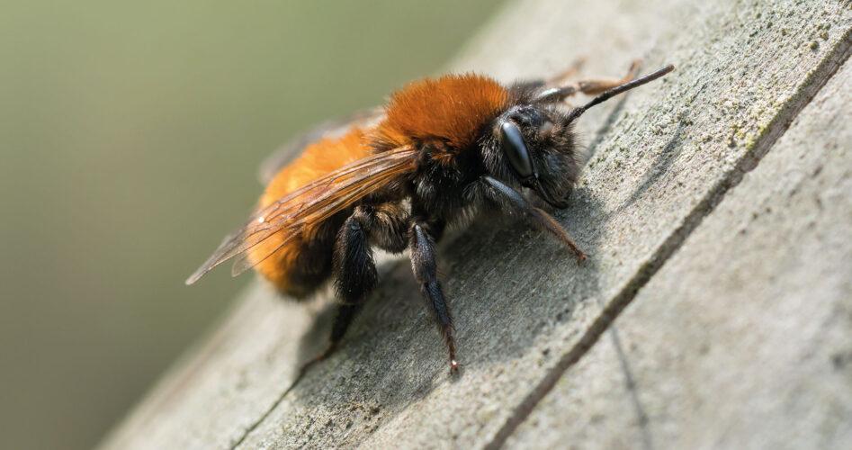 tawny-mining-bee-3-TRIAL-dreamstime_xxl_89735499-copy