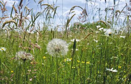 Wildflower-meadow-City-of-London-Corporation-Yvette-Woodhouse-2